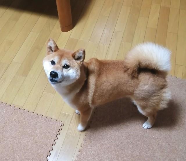 f:id:shibainumugi:20200518213421j:image