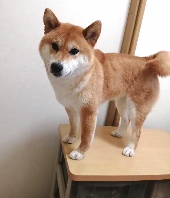 f:id:shibainumugi:20200601123604j:image