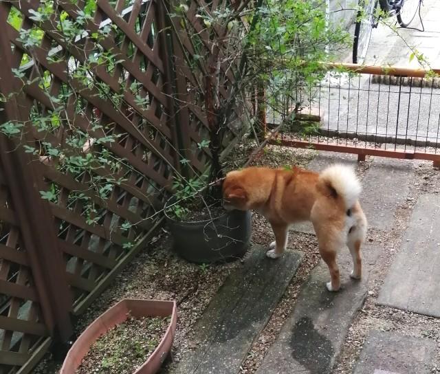 f:id:shibainumugi:20200601123644j:image