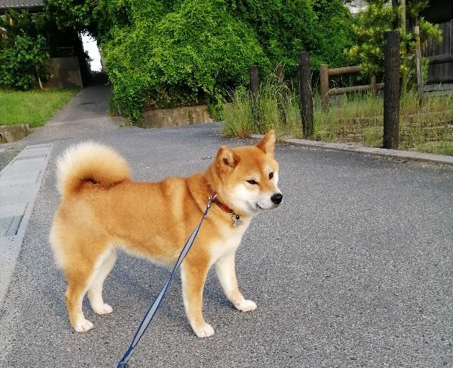 f:id:shibainumugi:20200602222436j:image