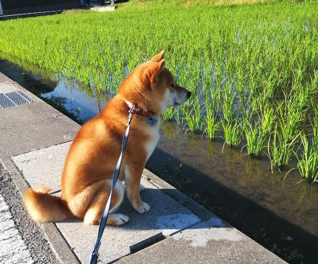 f:id:shibainumugi:20200611173039j:image