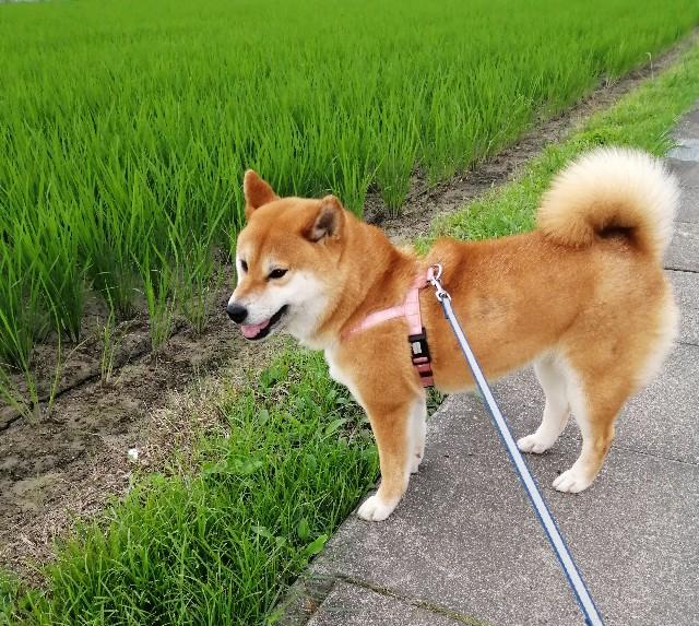 f:id:shibainumugi:20200618074658j:image