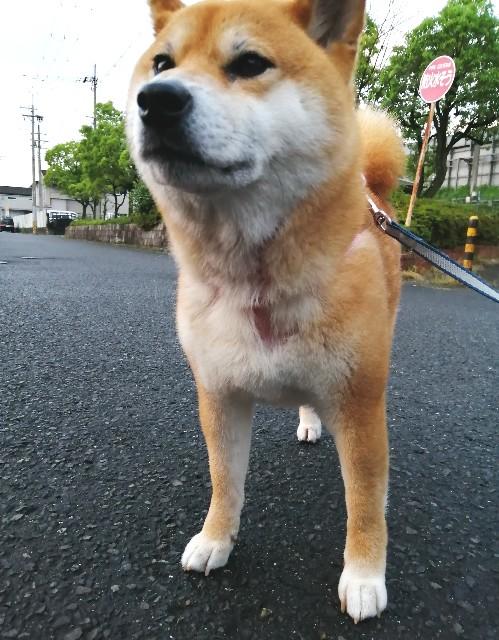 f:id:shibainumugi:20200620134200j:image