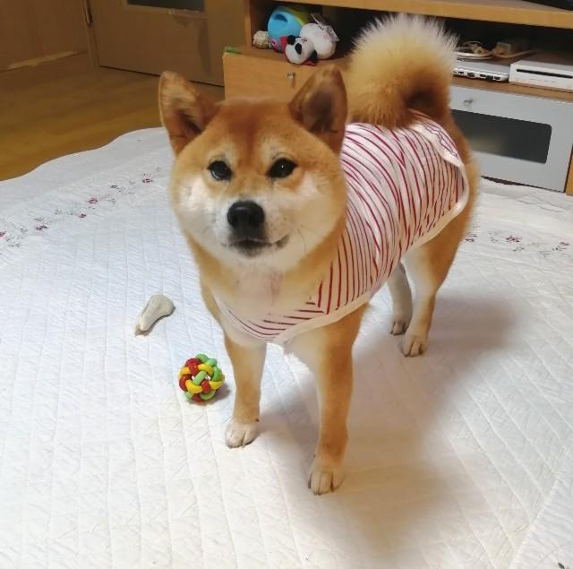 f:id:shibainumugi:20200622103345j:image