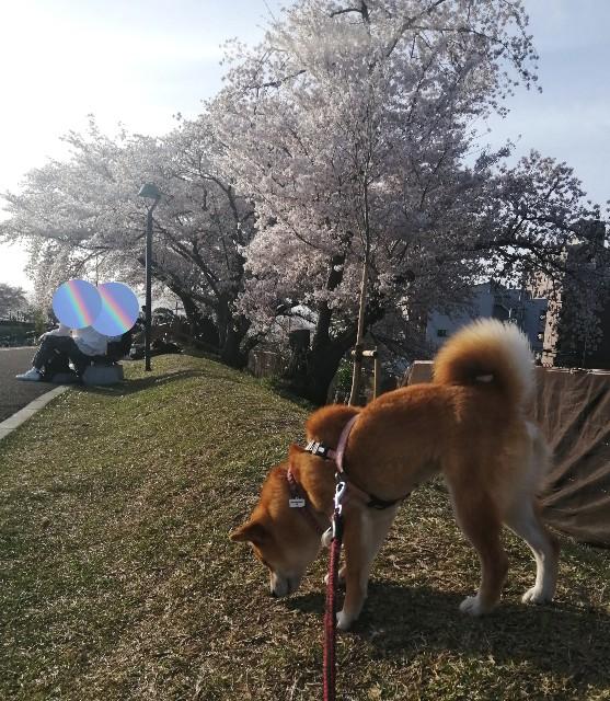 f:id:shibainumugi:20210401115720j:image