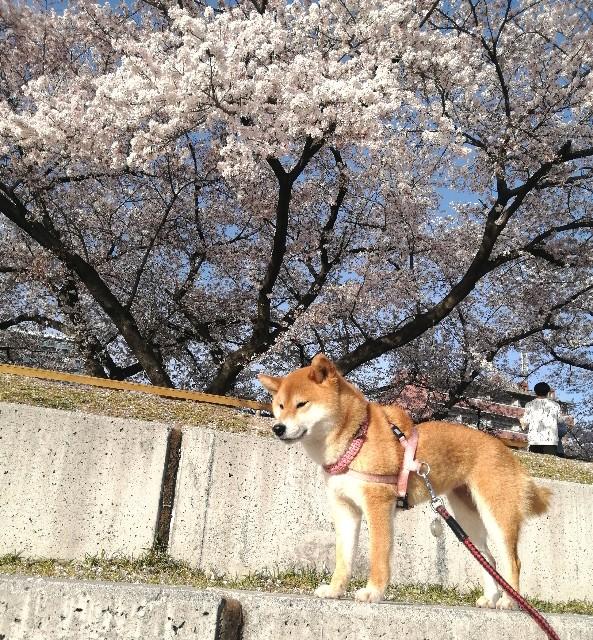 f:id:shibainumugi:20210401120241j:image