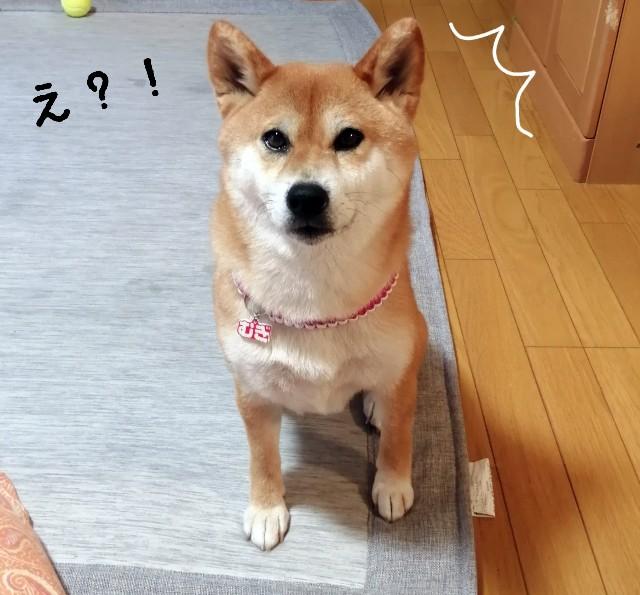 f:id:shibainumugi:20210616112518j:image