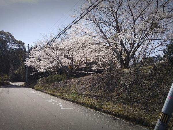 南面里地区の桜