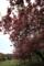 内馬場の八重桜