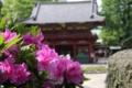 根津神社ツツジ祭