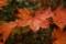 赤く濡れた葉