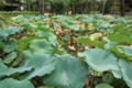 傘を広げる蓮池(唐招提寺)