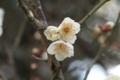 梅、早咲き