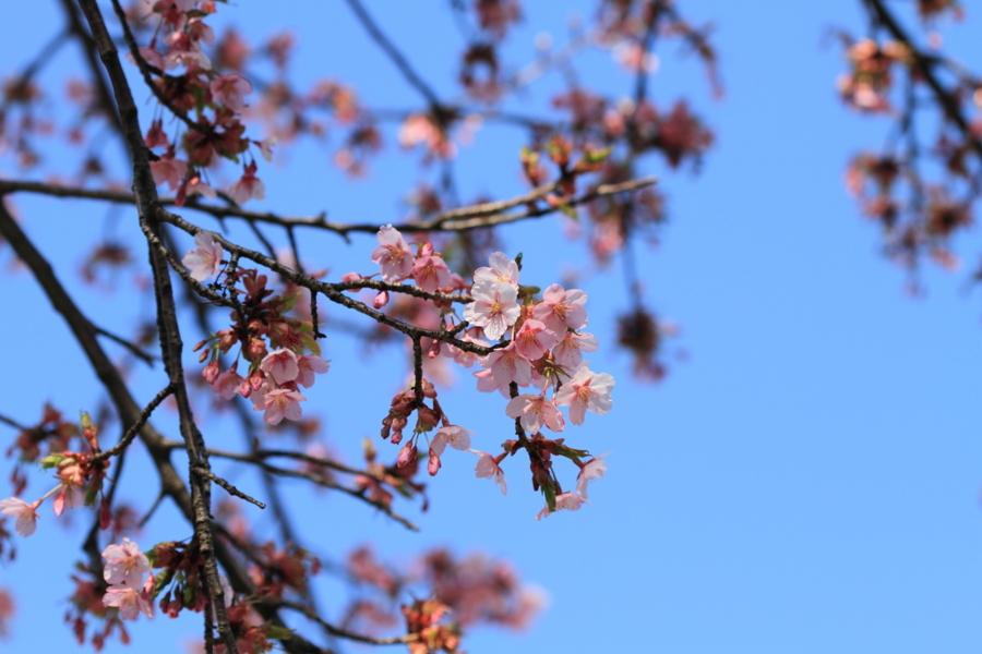 薄桃色の早春