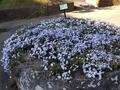 202000321 浦安富岡中央公園の芝桜花壇