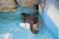 [埼玉県][宮代町]東武動物公園 アメリカビーバー