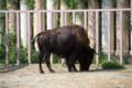 [埼玉県][宮代町]東武動物公園 アメリカバイソン