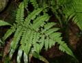 サキモリイヌワラビ1