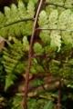 トゲヤマイヌワラビ2