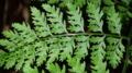 トガリバイヌワラビ