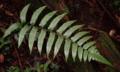 ホソバノコギリシダ
