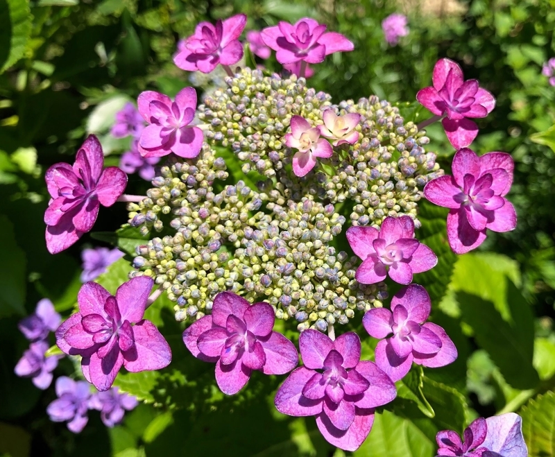iPhone Xで撮影した紫陽花