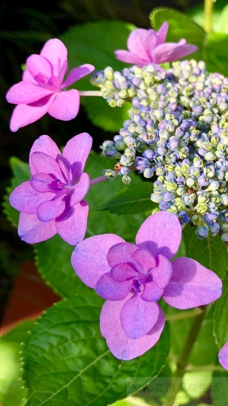 iPhone Xで撮った紫陽花