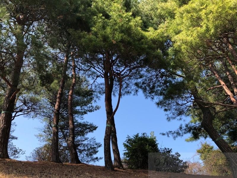 iPhone Xで撮った松林