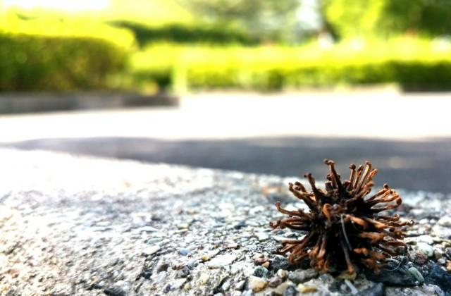 枯れて乾燥した篠懸の実の写真