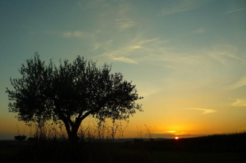 夕日にシルエットを映す大きなオリーブの木の写真