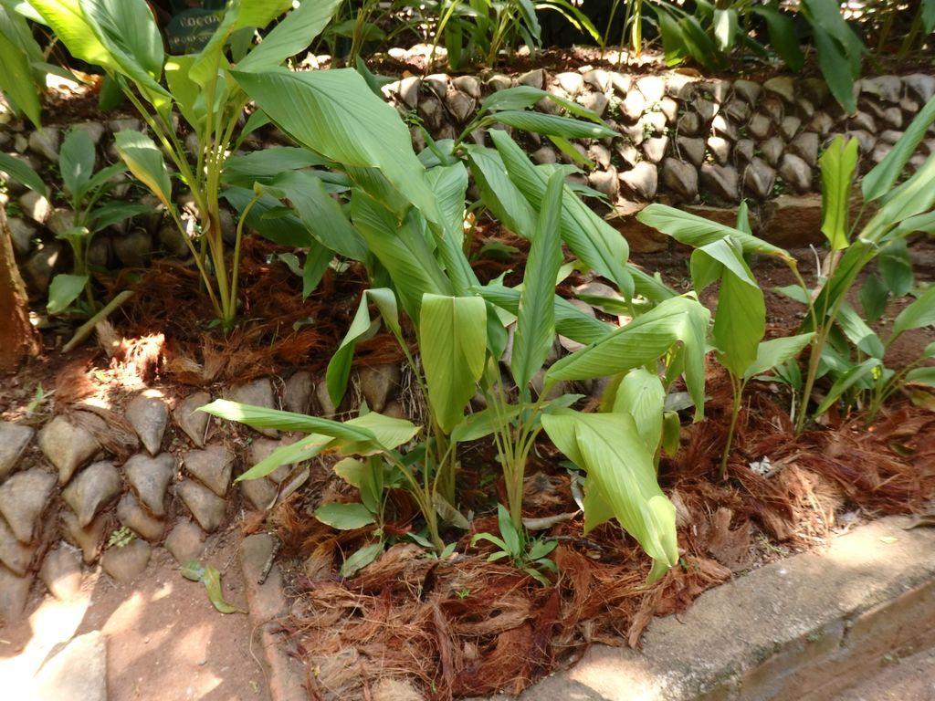 スリランカ スパイスガーデン ウコン(ターメリック)の葉