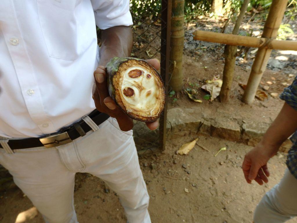 スリランカ スパイスガーデン カカオの実の断面 白い果肉に包まれたカカオ豆