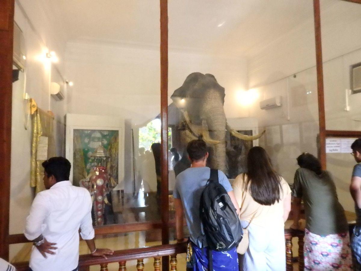 仏歯寺 ペラヘラ祭の仏歯をのせた先代のゾウのはく製(国宝)が展示 鼻が白いゾウ
