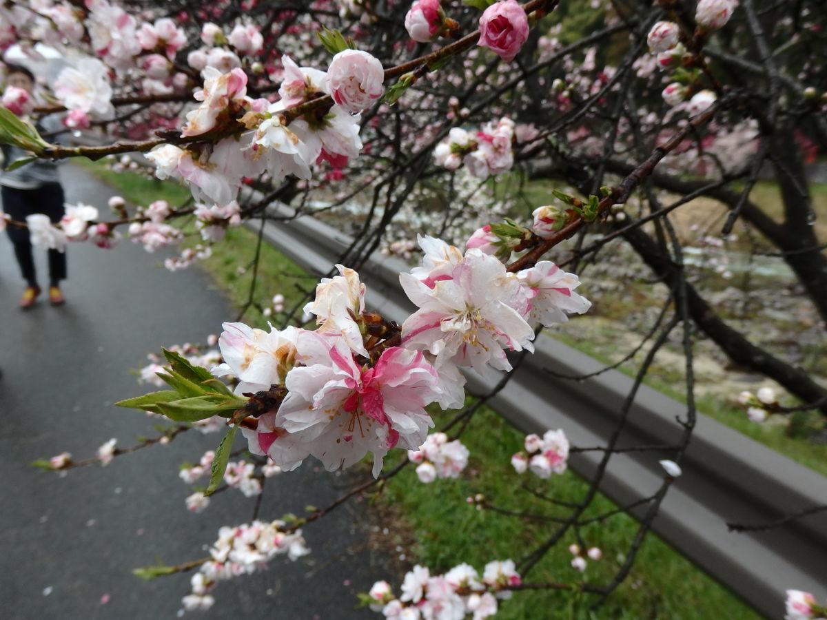 ミックス色の花桃