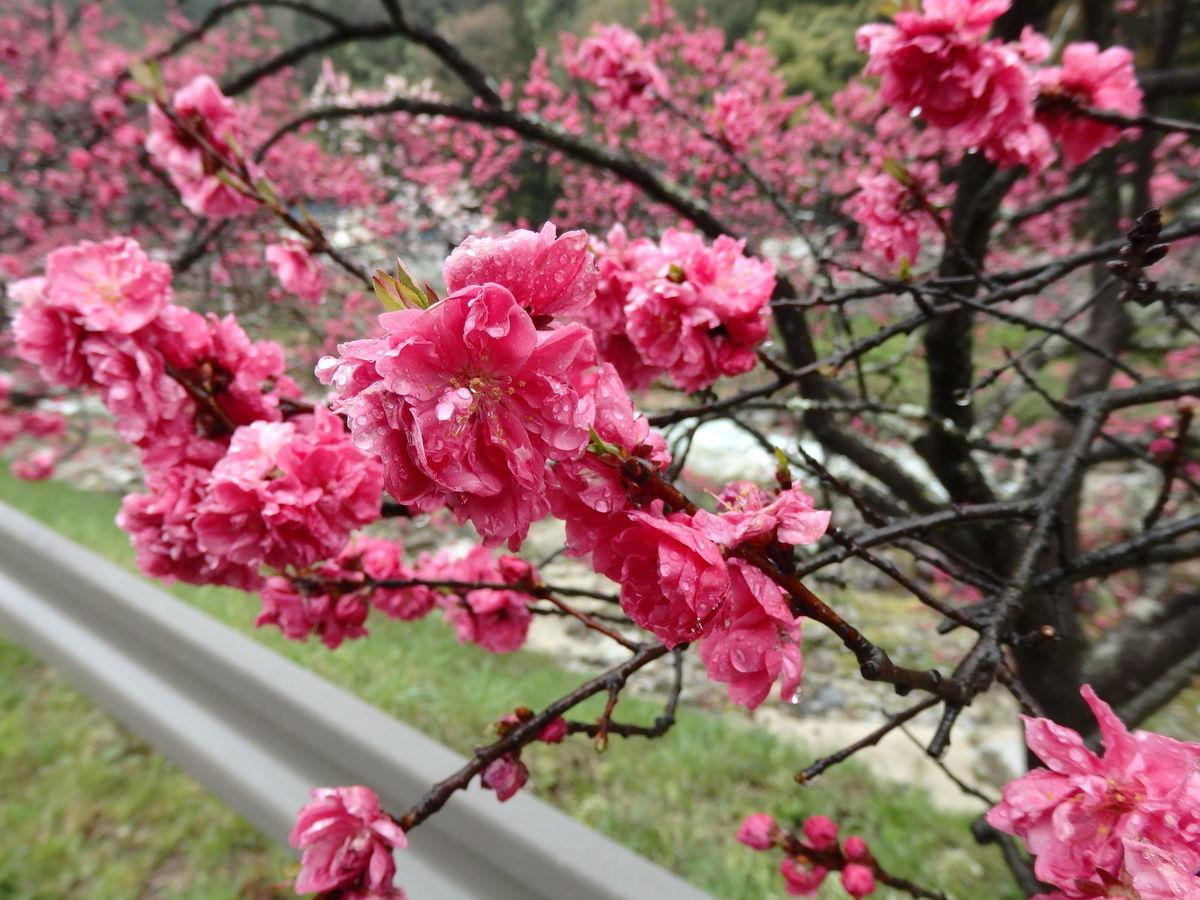 赤色の花桃