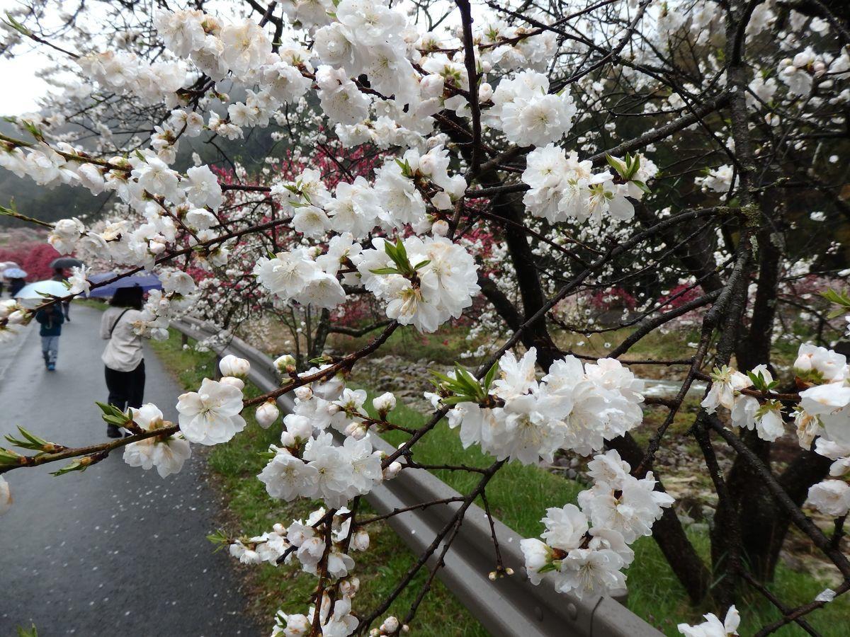 白色の花桃