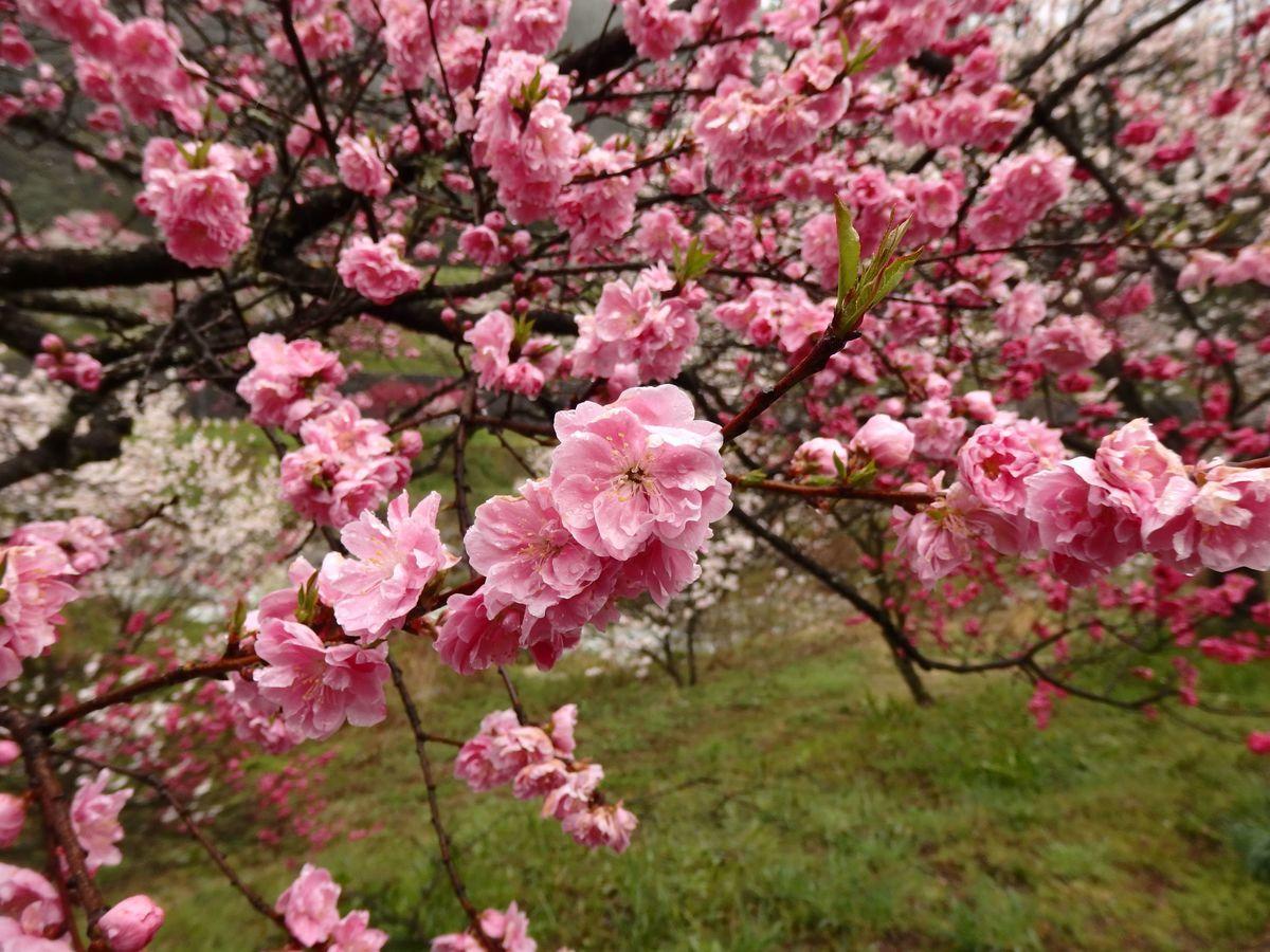 ピンク色の花桃