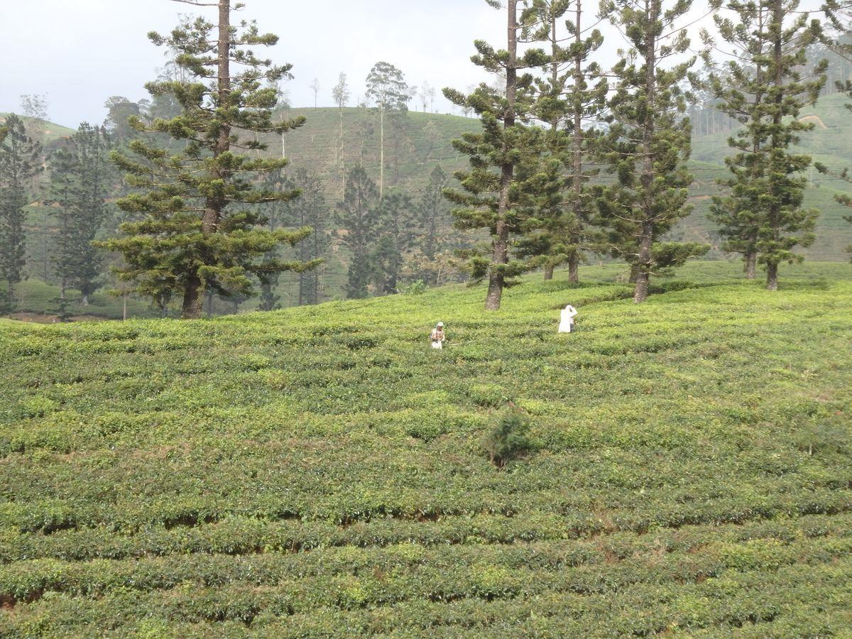 スリランカ キャンディとヌワラ・エリヤを結ぶ高原列車/紅茶列車 紅茶畑で茶摘みの作業をする女性達の姿