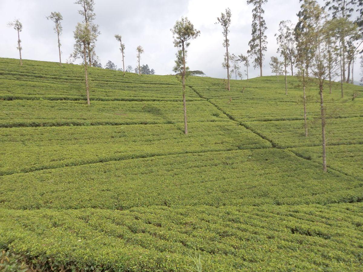 スリランカ キャンディとヌワラ・エリヤを結ぶ高原列車/紅茶列車 見渡す限り、紅茶畑が広がる