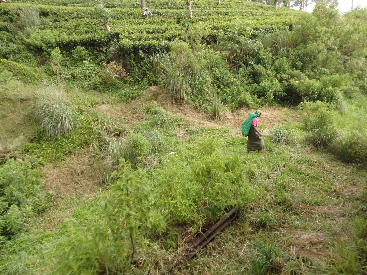 スリランカ キャンディとヌワラ・エリヤを結ぶ高原列車/紅茶列車 紅茶畑が近くに見える