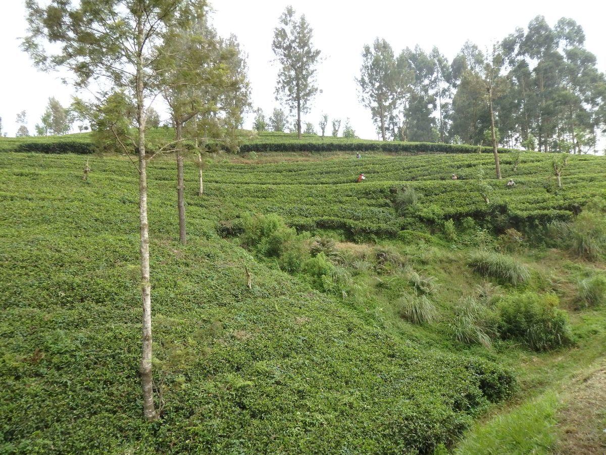 スリランカ キャンディとヌワラ・エリヤを結ぶ高原列車/紅茶列車 紅茶畑で茶摘みをする姿も間近に見える