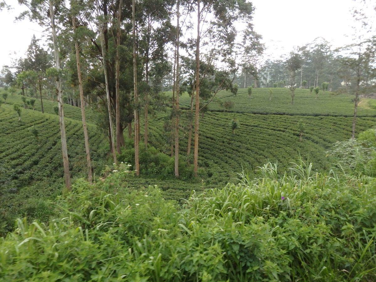 スリランカ キャンディとヌワラ・エリヤを結ぶ高原列車/紅茶列車 紅茶畑の景色