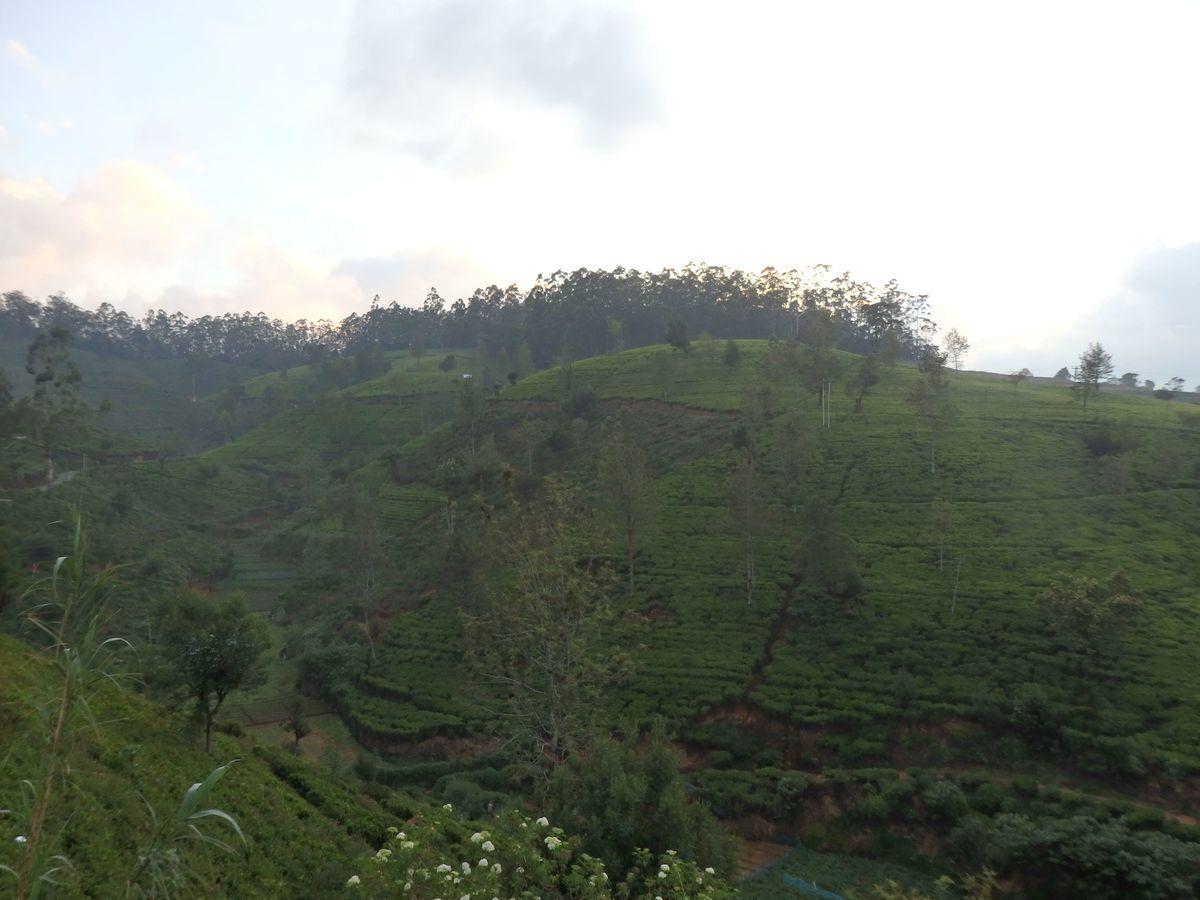 紅茶工場をリノベーションしたホテル,ヘリタンス ティー ファクトリー(Heritance Tea Factory)周辺、見渡す限りの茶畑