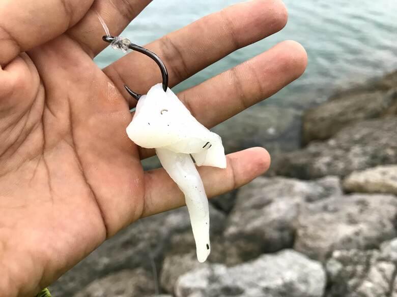ネコザメ 釣り 怪魚