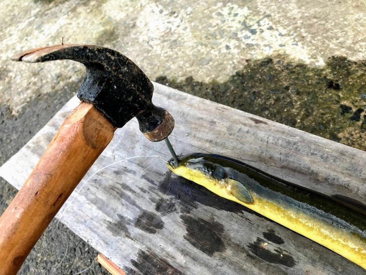 ウナギ 釣り 捌き方