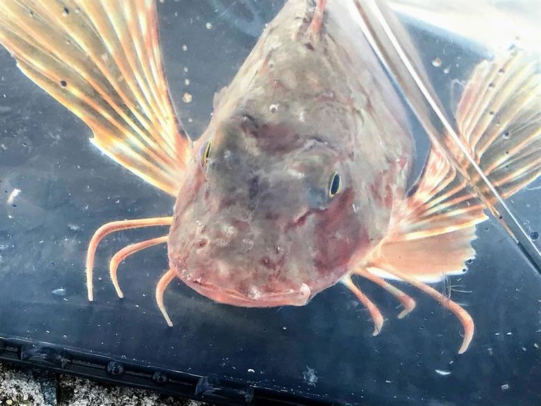メタルマル 怪魚 ホウボウ ルアー 釣り