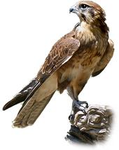 falconロゴ