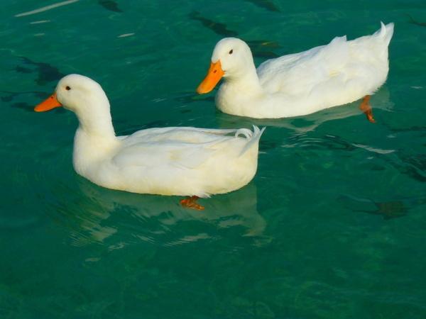duck-15026_1280.jpg