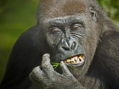 gorilla-1114750_1280.jpg