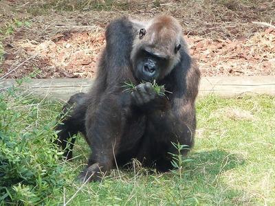 gorilla-1153446_1280.jpg